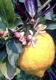 Лимон дерево лимона citrus limon вечнозеленое дерево рутовых  Лимон citrus limon