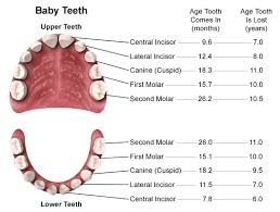 Which Baby Teeth Fall Out Chart Anatomy And Development Of The Mouth And Teeth