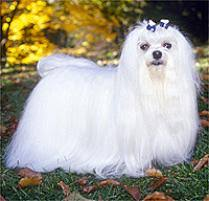 maltese dog. maltese dog breed w