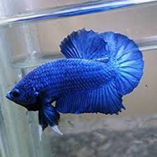 Betta Genetics Chart Betta Knowledge Deep Blue Bettas