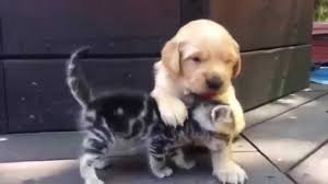 golden retriever puppy and kitten.  Puppy YouTube Premium For Golden Retriever Puppy And Kitten E