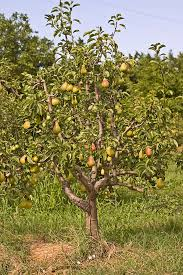 Fruit Tree Pollination Chart How To Plant Grow Prune And Harvest Pears