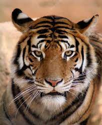 tiger face with mouth slightly open