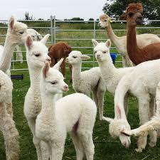 Purl Alpaca Designs 4 Beautiful Babies On The Alpaca Farm Featured On The Purl