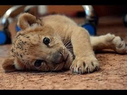 cute baby liger.  Liger Liger Cub From China In Cute Baby A
