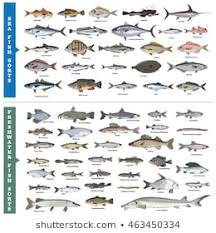Freshwater Fish Identification Chart Fish Breeds Stock Vectors Images Vector Art Shutterstock