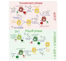 The Glycolytic Pathway The Ten Enzyme Catalysed Steps Of Glycolysis