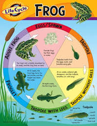 Amazon Com Chart Life Cycle Of A Frog Kitchen Dining