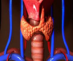 Thyroid Anatomy Thyroid Anatomy Uci Head And Neck Surgery Uci Ent