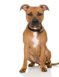 pitbull terrier.  Terrier For Pitbull Terrier