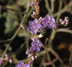 Wild Plants of Malta & Gozo - Plant: Limonium serotinum (no name)