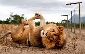 """Résultat de recherche d'images pour """"image lion"""""""