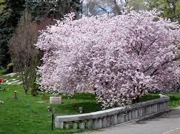 mount pleasant flowering trees in