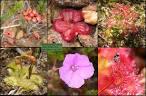 family droseraceae