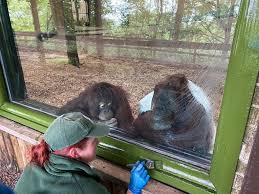 Dudley Zoo - Primate Keeper Louisa came under close...   Facebook