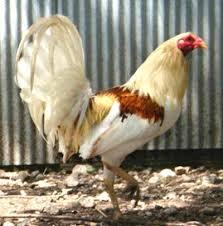 American Game Chicken Breed Information Modern Farming Methods
