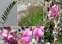 Onobrychis viciifolia Scop. - Sistema informativo sulla flora ...