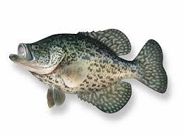 Fishes Of Mississippi Mississippi State University