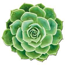 """Résultat de recherche d'images pour """"plantes grasses : rosette de joubarbe"""""""