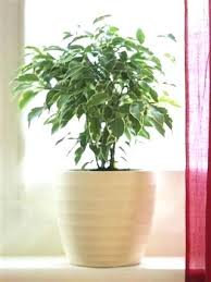 low maintenance office plants. Low Maintenance Plants For Office Indoor Ficus