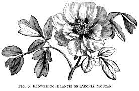 Moutan Peony Free Vintage Clip Art Old Design Shop Blog