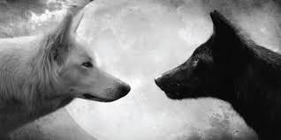 white wolf and black wolf fighting. Exellent Wolf A Cherokee Elder Was Teaching His Children About Life He Said To Them U201cA  Terrible Fight Is Going On Inside Me It A Between Two Wolves And White Wolf Black Fighting F