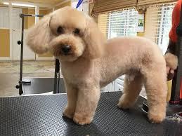 photo of carolina pet spa apex nc united states toy poodle teddybear