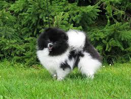 Pomeranian eesti