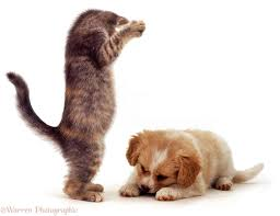 puppy and kitten fighting. Wonderful And Playful Blue Tabby Kitten About To Pounce On Cavalier X Spitz Puppy Both 8 And Puppy Kitten Fighting