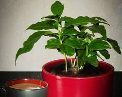 they make attractive house plants just don t expect them to offer that morning cup of joe it could take a few years before you see many fruits on it