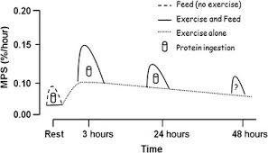 physical exercise  graph of muscle protein synthesis vs time