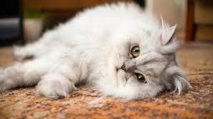 persian cats hd wallpapers cute cats new tab image 3 40