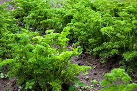 Pietruszka naciowa | Ogród Działka