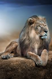 lion wallpaper iphone 6. Interesting Iphone Male Lion For Wallpaper Iphone 6