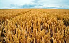 Технология выращивания озимой пшеницы ru Пшеница