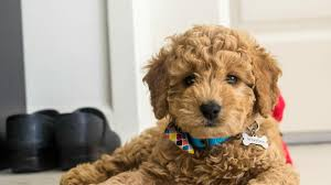8 things to know about the miniature goldendoodle mini goldendoodle