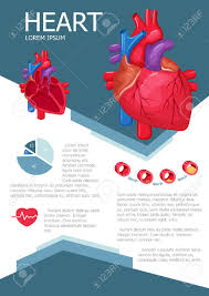 Anatomy Of The Heart Chart Human Heart Infographic Poster With Chart Diagram And Icon