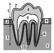 Зубы млекопитающих Зоология Реферат доклад сообщение кратко  Зубы млекопитающих