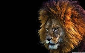 Ultra Hd Lion Face Wallpaper - Novocom.top