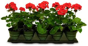 Image result for geraniums