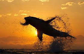 great white shark jumping for seal. Contemporary Seal Inside Great White Shark Jumping For Seal P