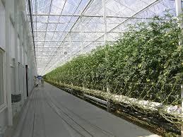 Resultado de imagen de tomato crops greenhouse