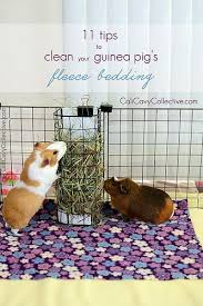 pin on guinea piggies