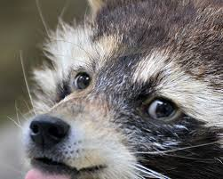 hello this is doge. say hello to raccone, a rare combination of raccoon and doge this is ?