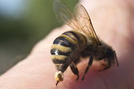 Bee Sting Allergies in Dogs - Symptoms, Causes, Diagnosis, Treatment ...