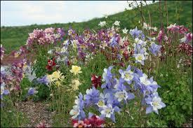 columbine flowers how to grow columbines