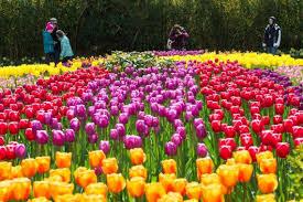 skagit festival daffodils in full bloom tulips later bellingham herald