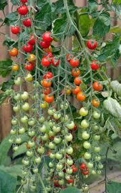 Sweet Million Tomato – Bonnie Plants