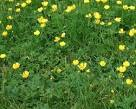 Images & Illustrations of creeping buttercup