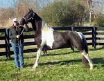 Spotted saddle horse foal pictures
